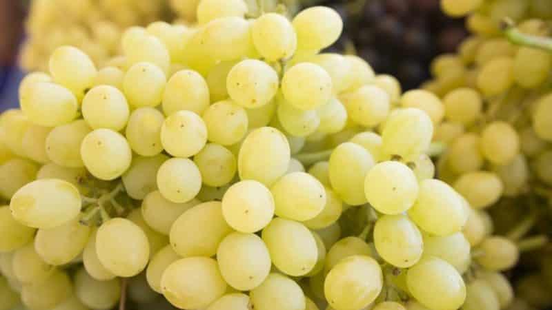 Сорта винограда для сибири: описание и фото