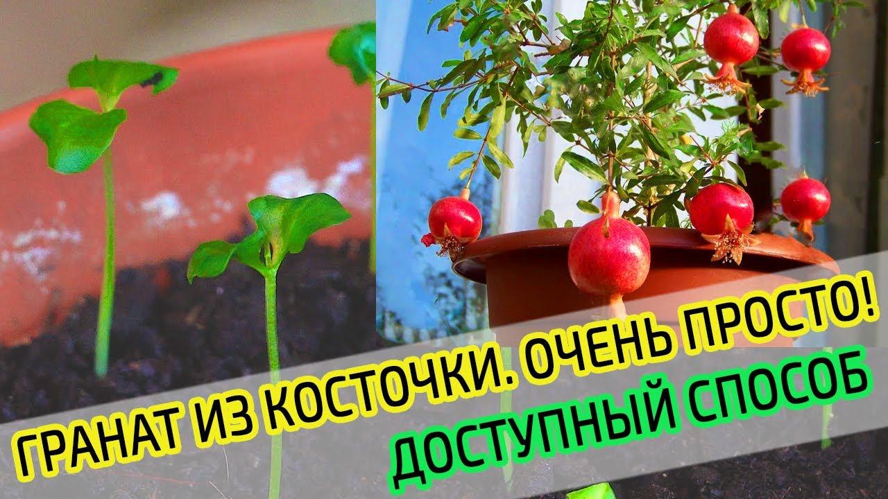 Комнатный гранат: посадка, уход в домашних условиях, выращивание