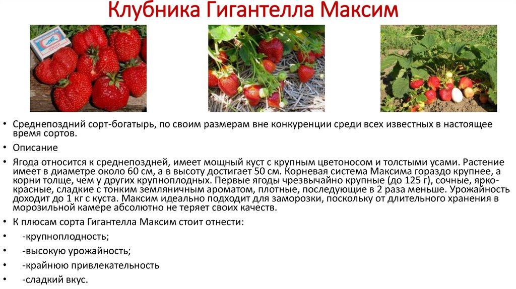 Сорт клубники гигантелла максим: описание и отзывы