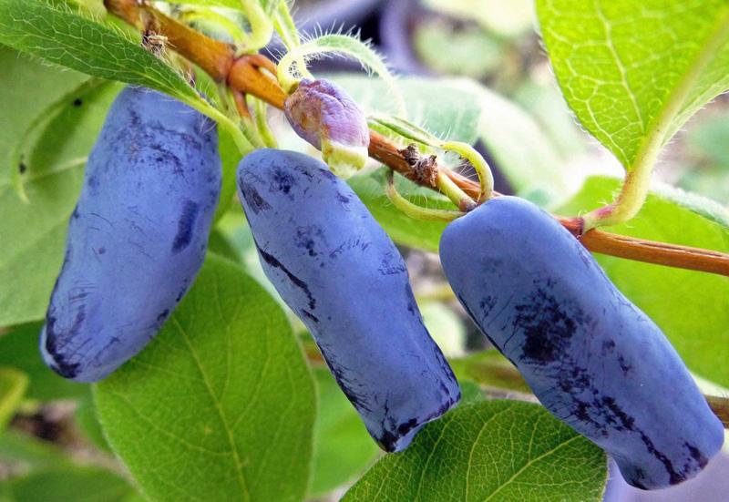 Сорта жимолости для сибири (сладкие, крупные): особенности выбора для сибирского климата, рекомендуемые съедобные и декоративные сорта