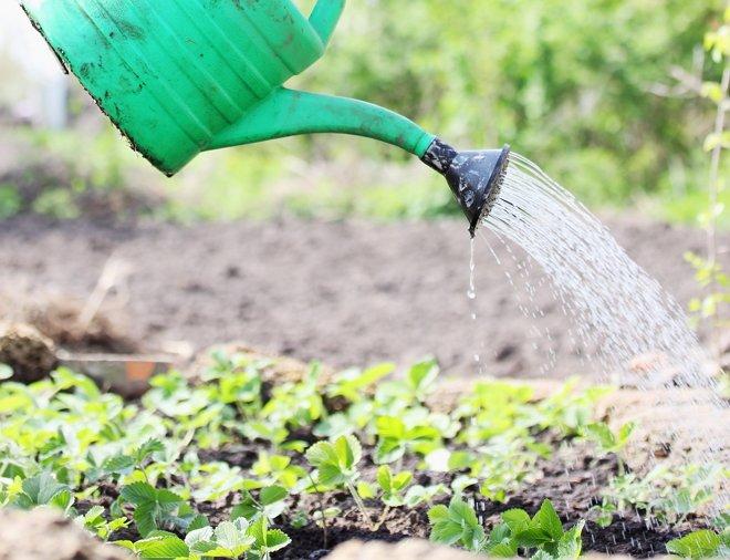 Как поливать арбуз, в том числе в открытом грунте, а также как часто это нужно делать