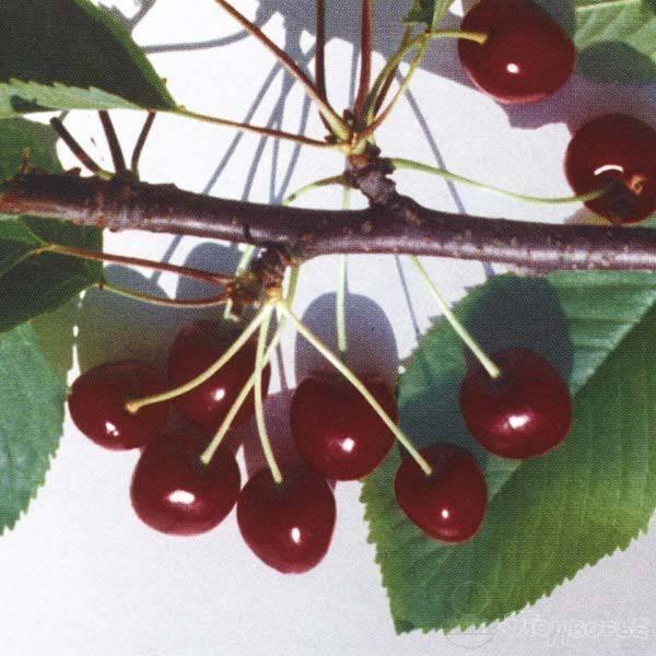 Морозостойкие сорта черешни: о черешне зюбарова, сорта для кировской области