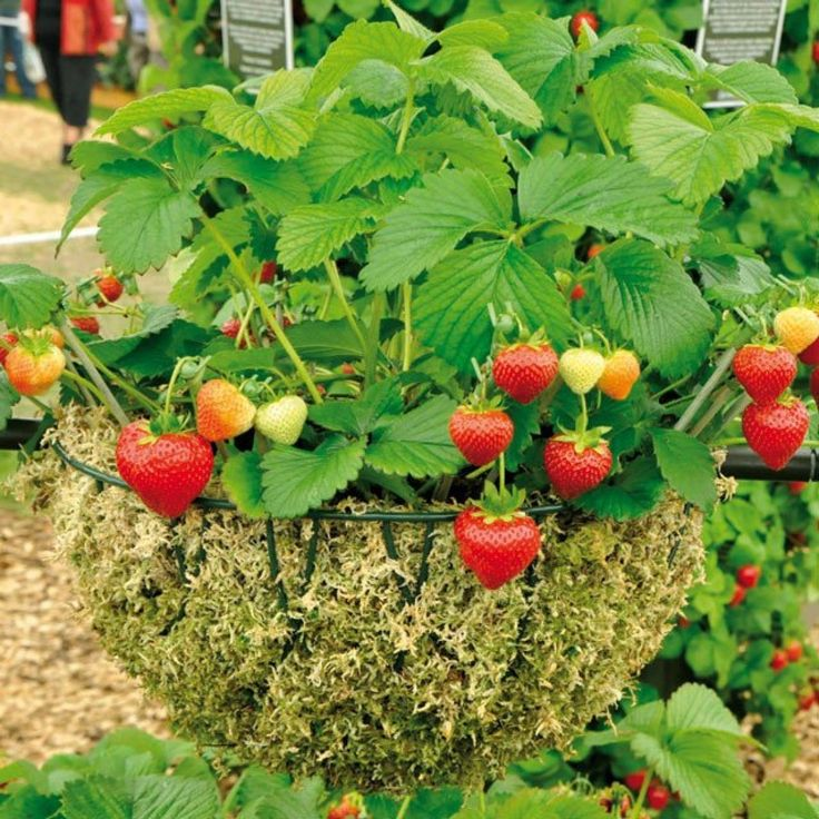 Клубника элиане - 130 фото и выращивание от а до я. видео инструкция по уходу