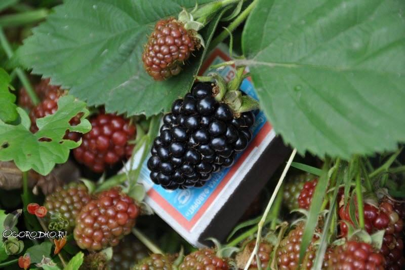 Бесшипная ежевика: технология посадки, выращивания, обрезки.