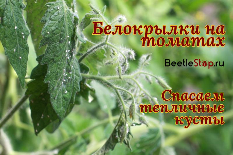Как избавиться от белокрылки на томатах и огурцах в теплице методы борьбы