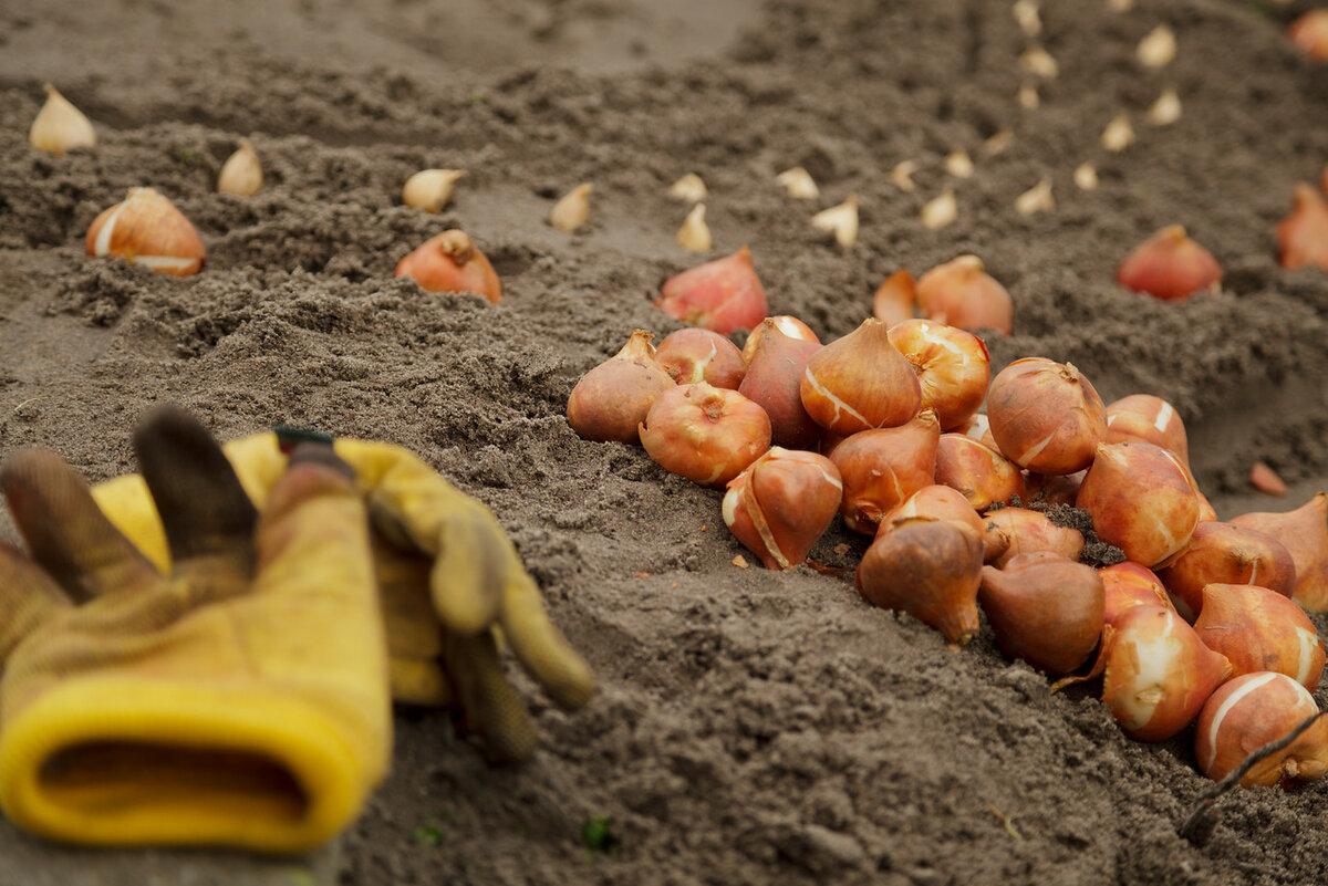 Посадка гладиолусов весной в открытый грунт в 2021 году: сроки, благоприятные дни