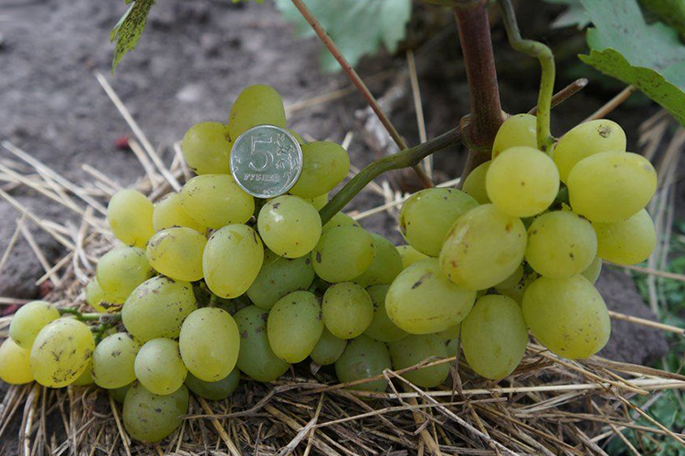 Описание сорта винограда «супер экстра», преимущества и недостатки