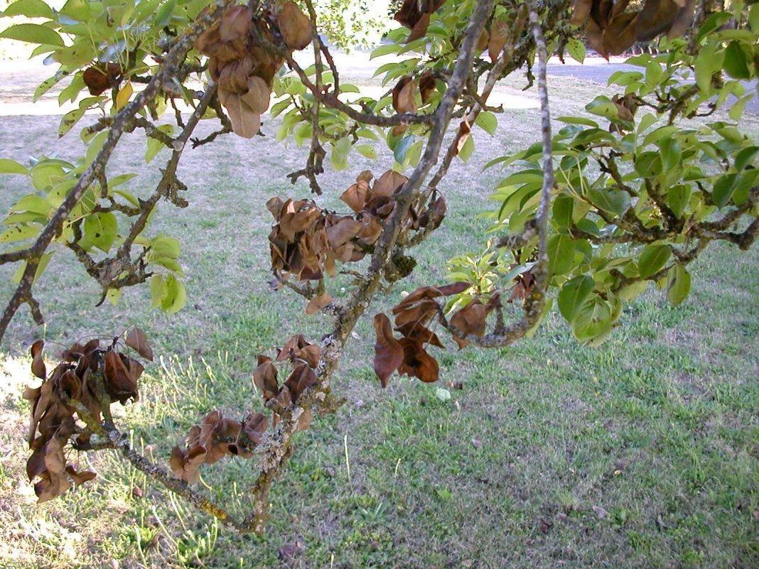 Как восстановить кору на яблоне: обрабатываем, лечим, замазываем ствол