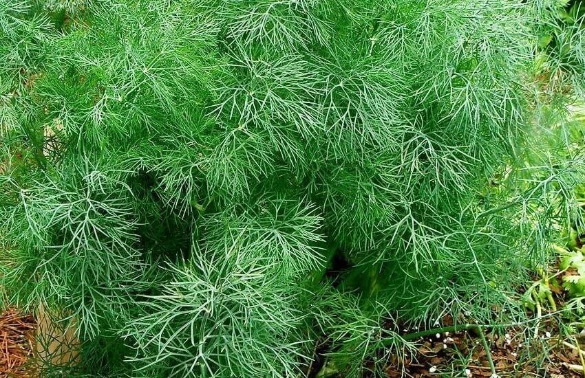 Укропное дерево фото и описание