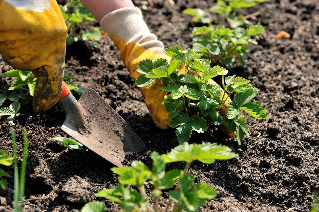 Как выращивать хрен правильно: в домашних условиях, на огороде или на даче, как и где посадить весной семенами, как размножается в открытом грунте, уход за культурой русский фермер
