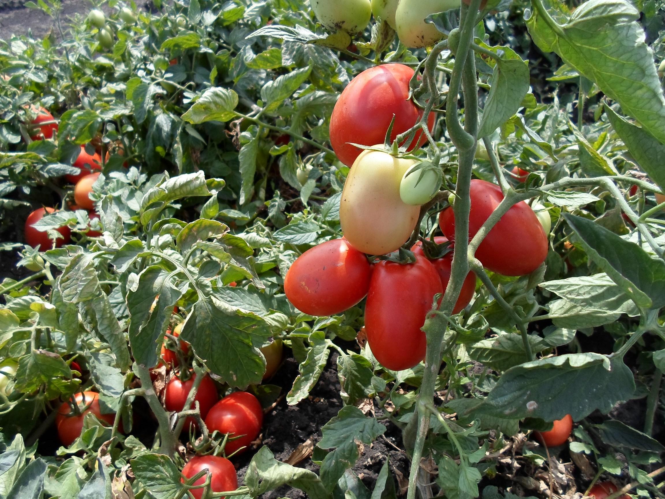 Описание томата Дино F1, выращивание и отзывы огородников