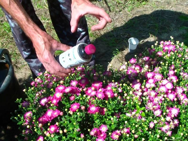 Посадка хризантем осенью: когда и как посадить правильно, инструкция и видео