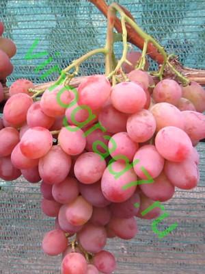 Виноград рубиновый юбилей - особенности ухода и посадки