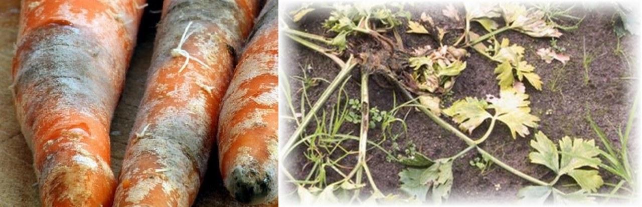 Болезни моркови: фото, описание и лечение