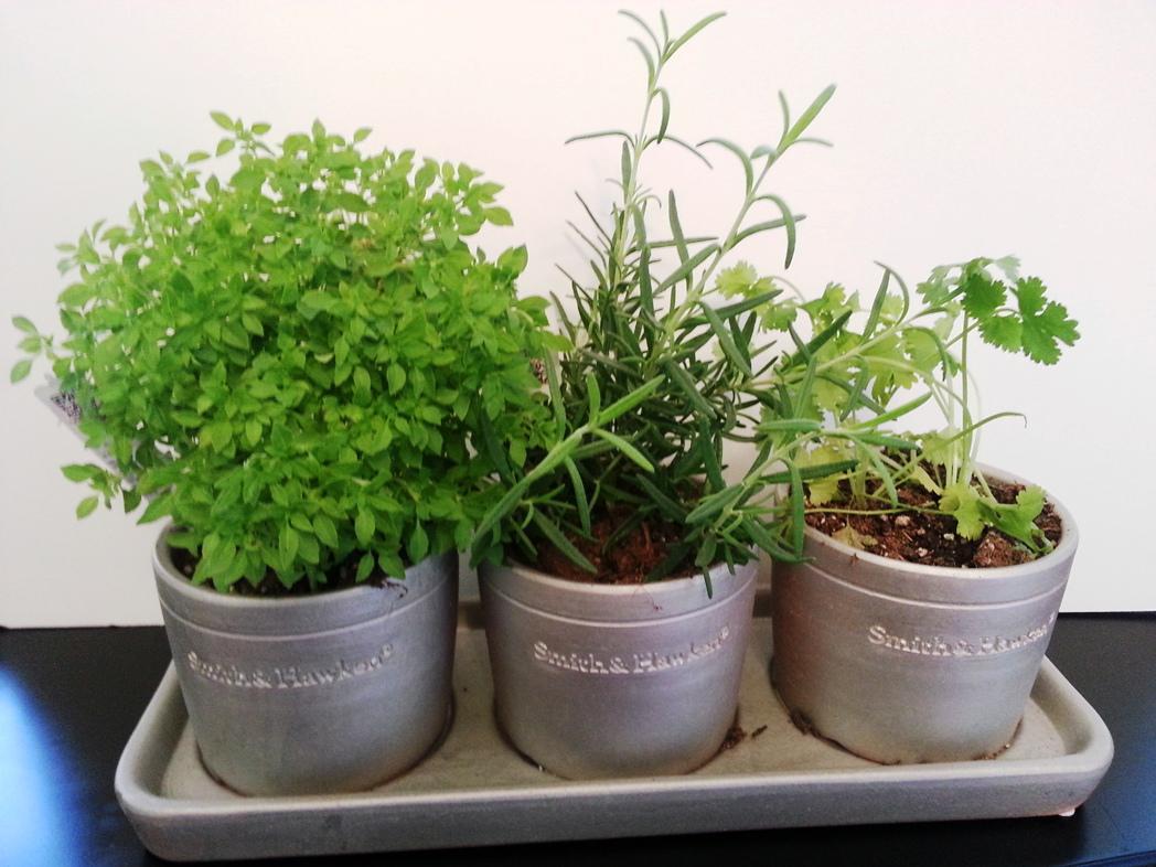 Как вырастить чабер из семян, посадка и уход в домашних условиях