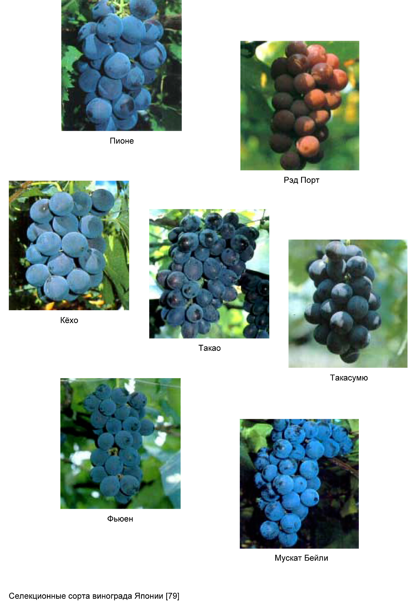Скороспелый гибрид — виноград «мавр»