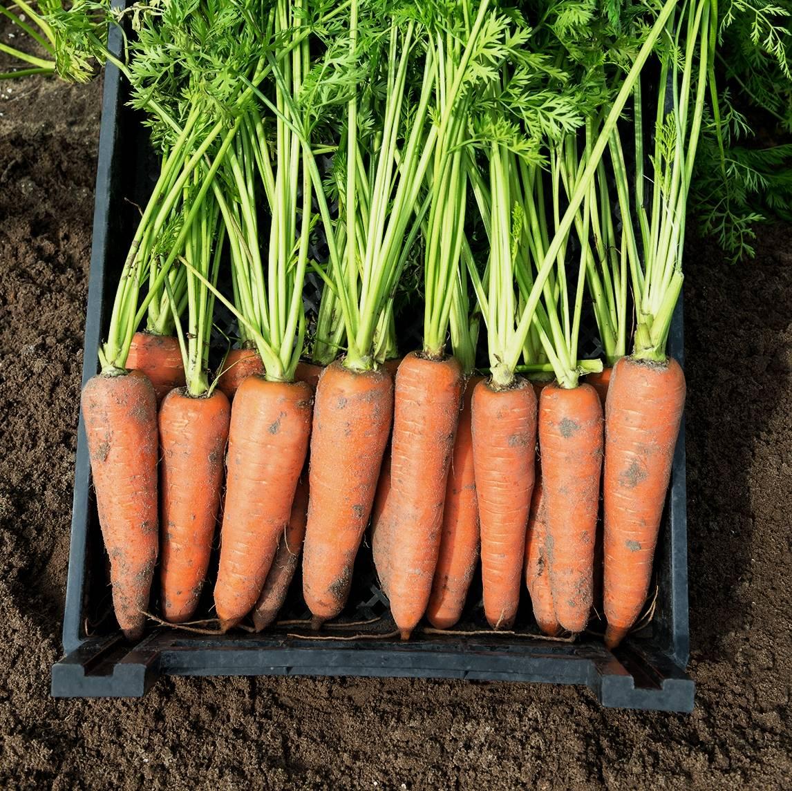 Морковь каскад: описание сорта и отзывы дачников об урожайности, характеристика гибрида f1, фото и рекомендации по выращиванию