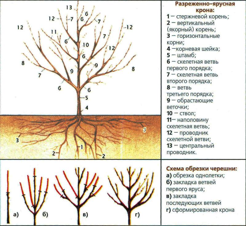 Черешня на урале: посадка и уход, как вырастить, осенью черешня на урале: посадка и уход, как вырастить, осенью