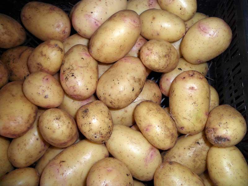 Сорта картофеля - более 20 популярных сортов с описанием