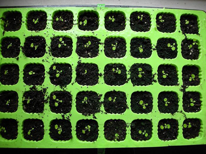 Клубника из семян в домашних условиях: от выбора сорта до высадки рассады