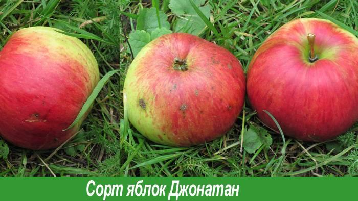 Все об американском сорте яблони джонатан