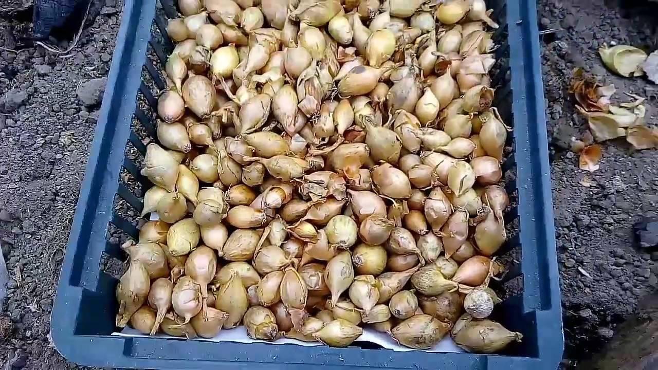 Выращивание репчатого лука из севка. технология, секреты. фото — ботаничка.ru