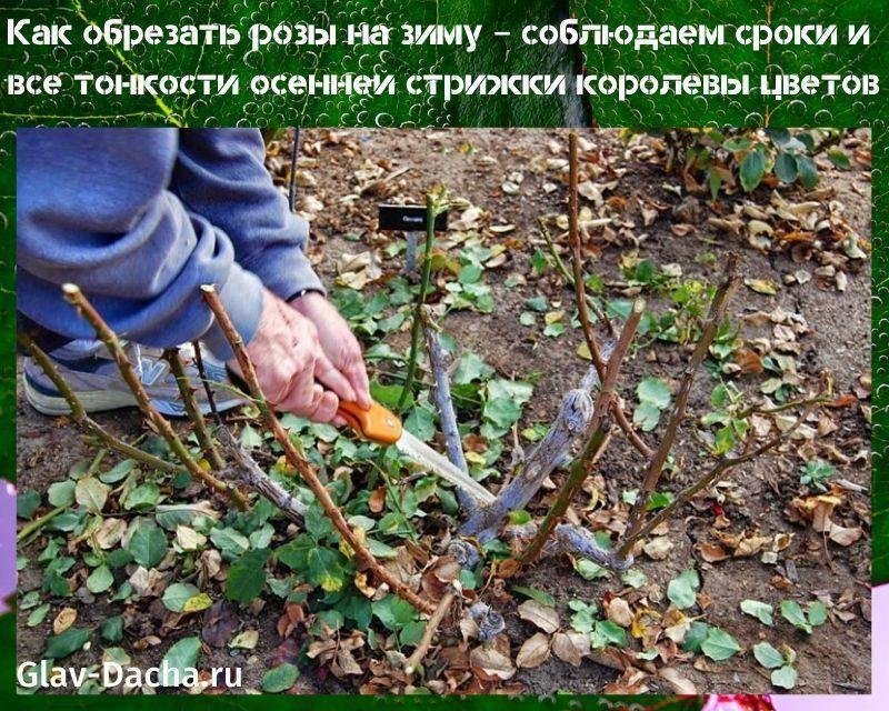 Как правильно ухаживать за розами осенью и подготовить их к зиме