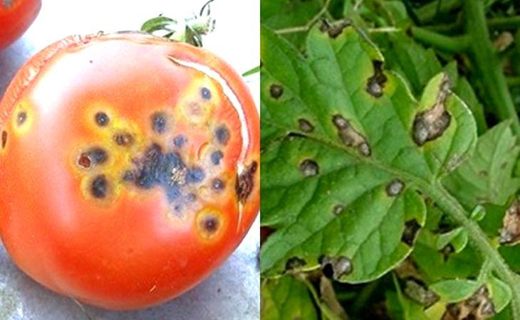 Серая гниль на томатах: лечение, профилактика