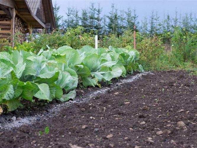 Удобрение для белокочанной капусты, чем подкормить?