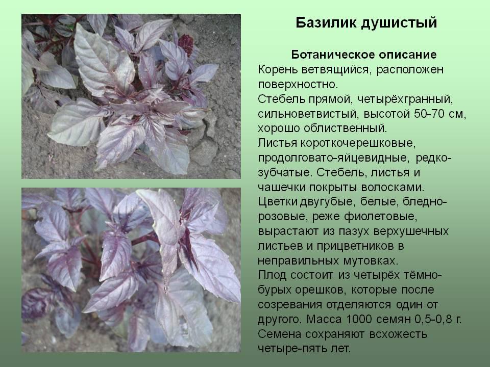 Полезные свойства и противопоказания фиолетового базилика для организма, его применение и сорта