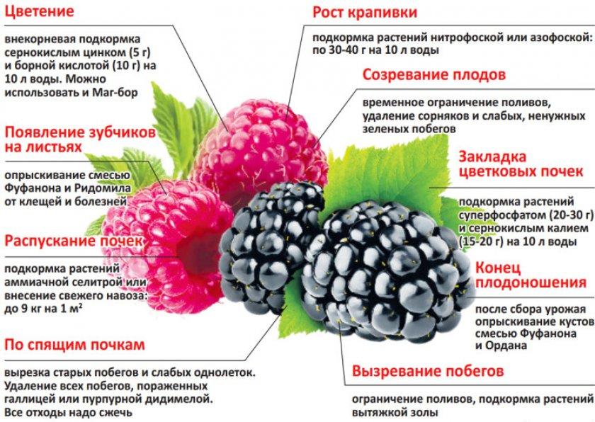 Когда в разных регионах созревает вишня и как правильно собирать урожай