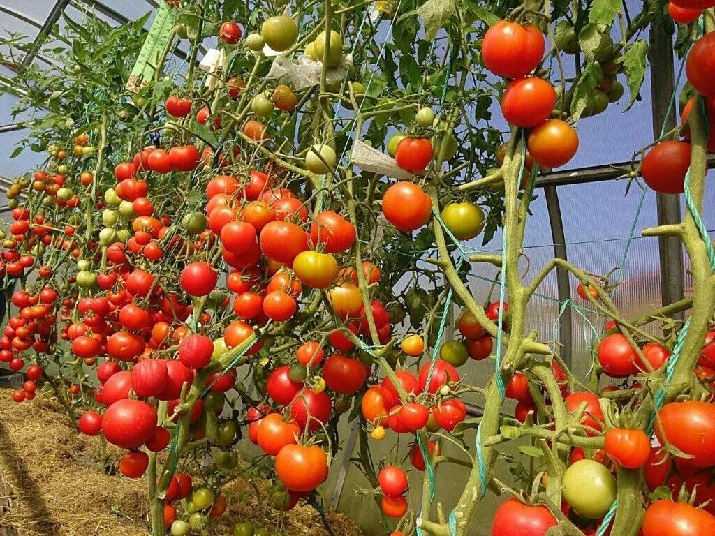 Выращивание томатов на двух корнях: описание метода, плюсы и минусы, посадка и аблактировка помидоров, а также как ухаживать за овощем с соединенными стеблями? русский фермер