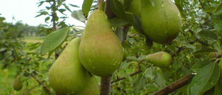 Августовская роса: описание сорта груши, отзывы садоводов