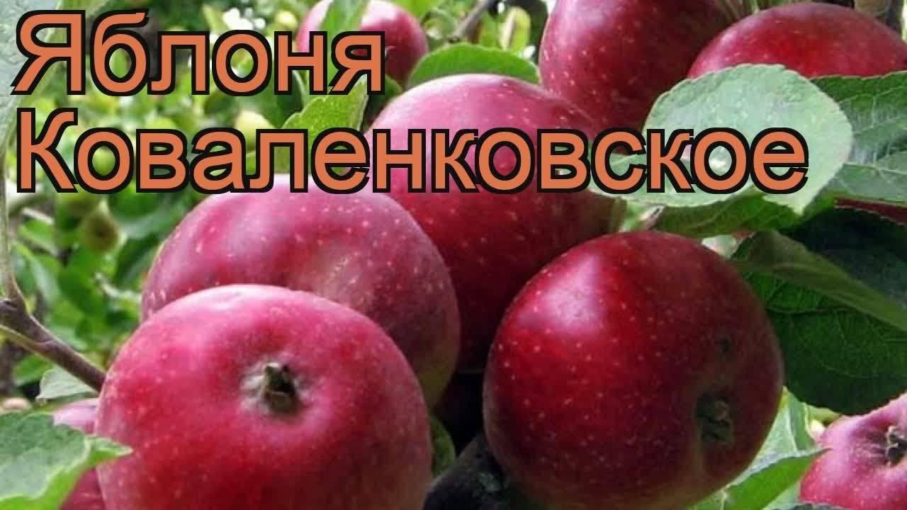 Яблоня сорта коваленковское: описание сорта и уход