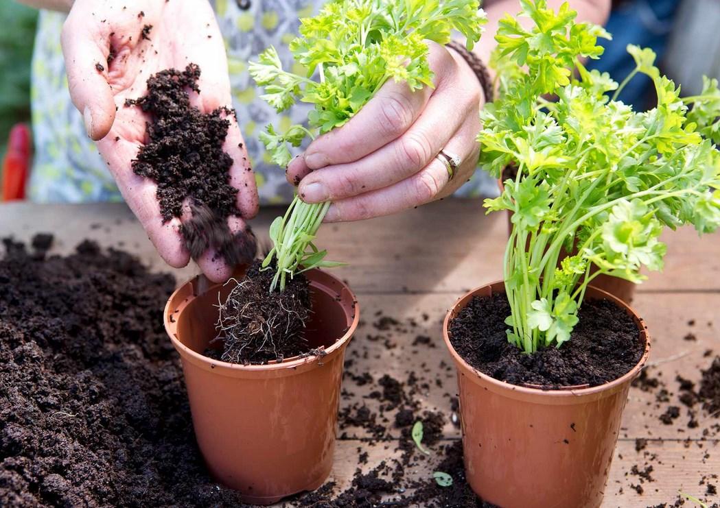Петрушка: когда сажать в 2021 в открытый грунт, на рассаду и как правильно, выращивание на подоконнике