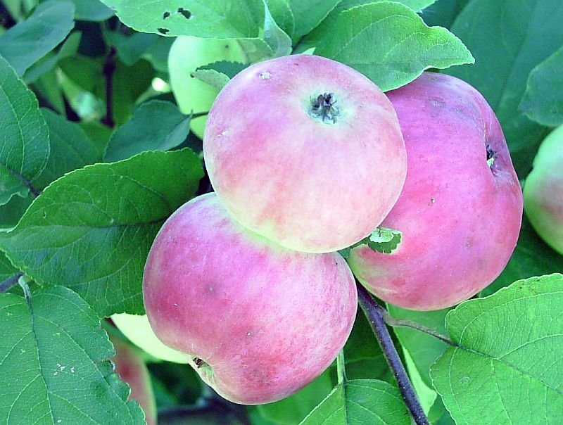 Привлекательный вид, отличный вкус и неприхотливость — яблони сорта анис