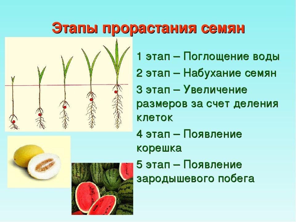Проращивание семян томатов перед посадкой на рассаду: надо ли осуществлять этот процесс, как правильно подготавливать зерна помидоров, а также дальнейший уход русский фермер