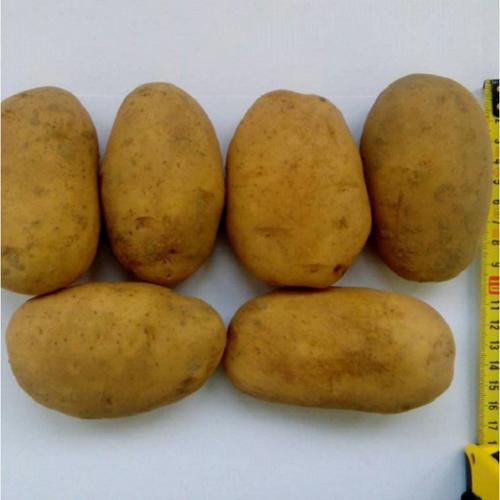 Сорт картофеля рогнеда: характеристика, описание с фото, отзывы