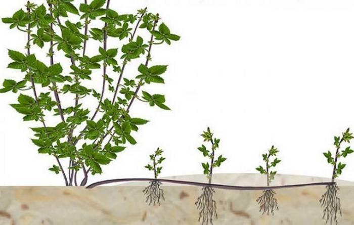 Садовая ежевика: посадка и уход, выращивание, размножение, обрезка