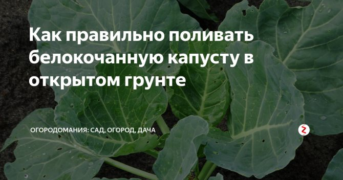 ✅ о поливе капусты в открытом грунте, как часто и правильно поливать - tehnomir32.ru