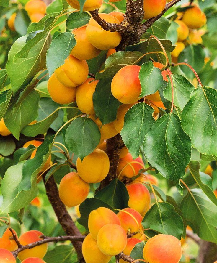 Выращивание абрикоса в сибири: описание 11 лучших сортов, посадка и уход
