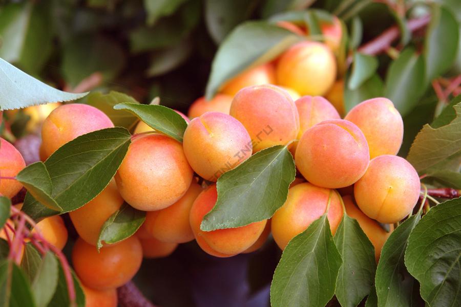 Самые вкусные в мире разновидности сортов абрикосов с большими плодами