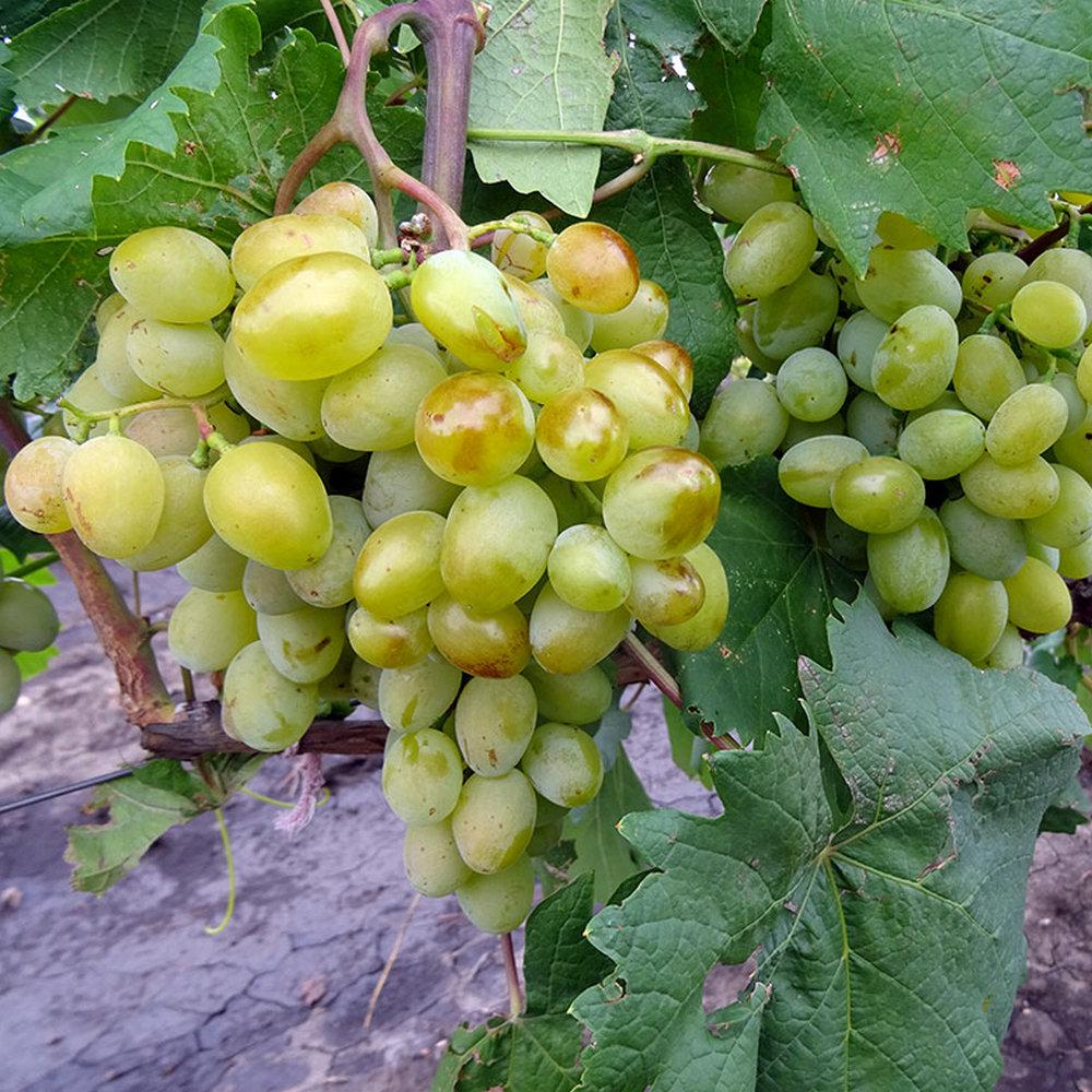 Виноград галахад описание сорта с фото и отзывами