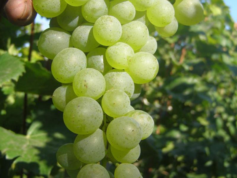 Виноград бианка: описание сорта, его характеристика и фото selo.guru — интернет портал о сельском хозяйстве