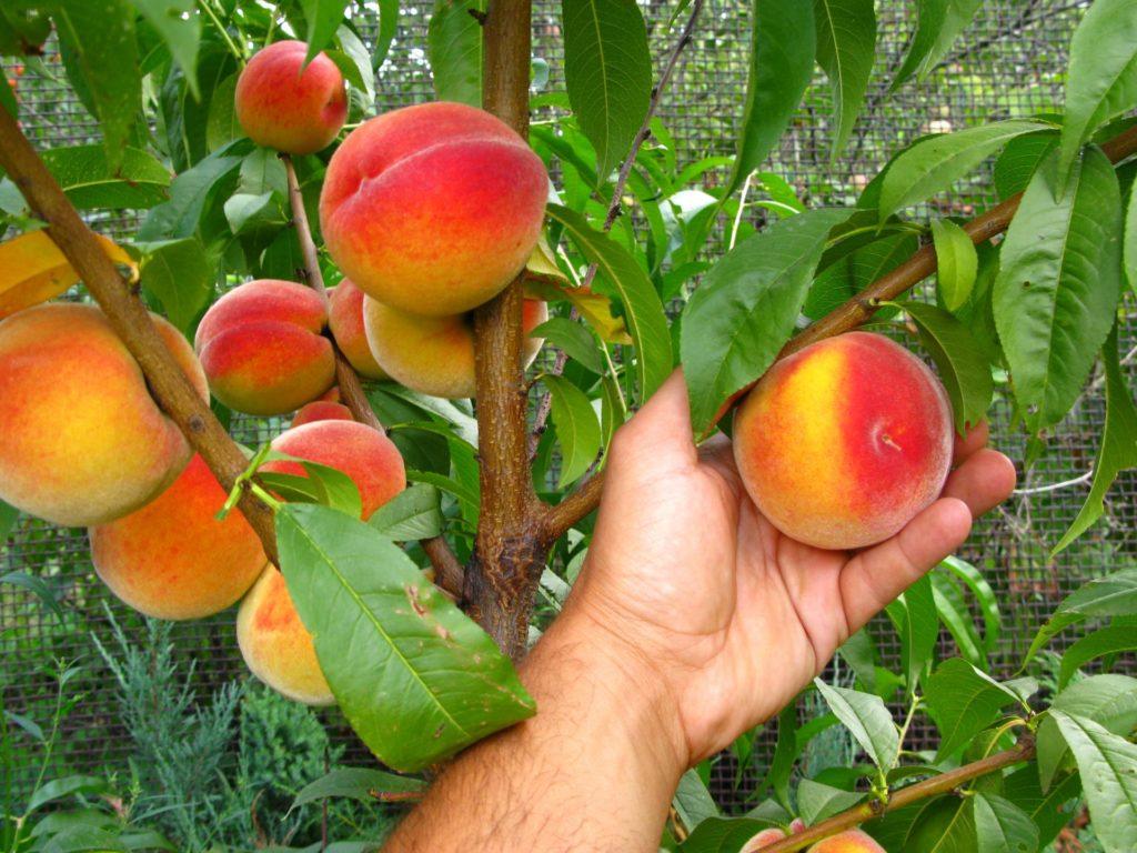 Персик посадка и уход в средней полосе. особенности выращивания персиков в средней полосе | зелёный сад