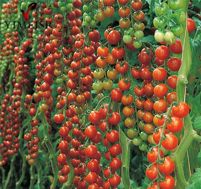 Томат «сладкий миллион»: необычный с простой агротехникой