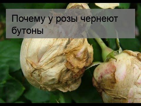 Почему гибискус сбрасывает свои нераспустившиеся бутоны: список причин, по которым у комнатного растения отваливаются и опадают нераскрывшиеся цветочные почки русский фермер