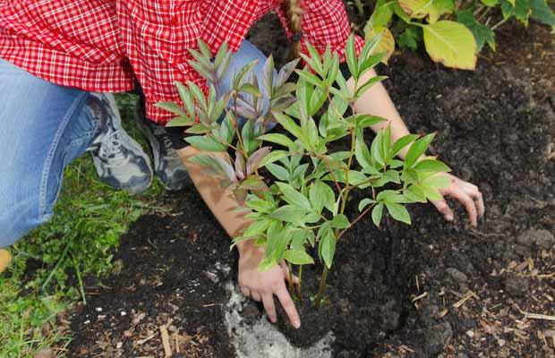 Как выращивать пионы на даче: советы от профи