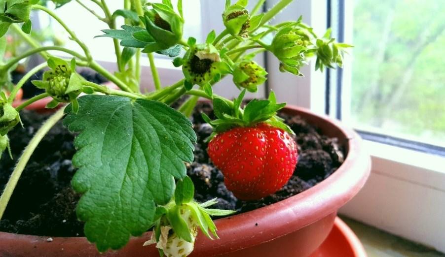 Выращивание ремонтантной клубники из семян: технология и правила выращивание ремонтантной клубники из семян: технология и правила