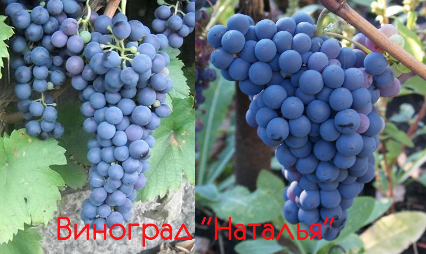 Сорт винограда бианка: характеристика, секреты выращивания